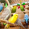 Polly Wanna Fever? Man's Rare Infection Linked to Parrots